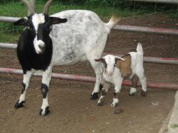 tennessee fainting goat babies
